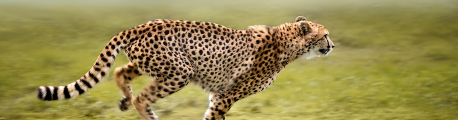 a cheetah running