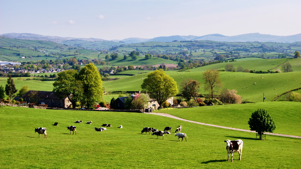 Picturesque farmland with dairy cows grazing in fields