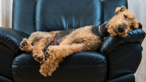 Dog asleep on armchair