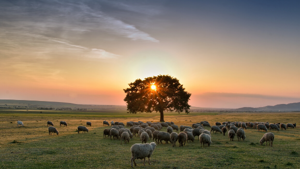 Flock of sheep grazing in a hill at sunset